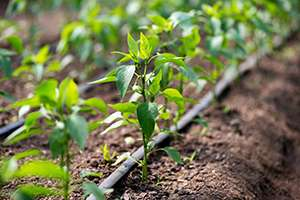 4 Facts About Drip Irrigation